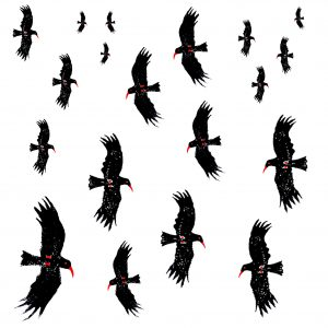 flying chough card square